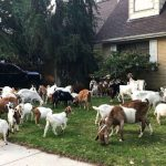 """Boise Neighborhood Invaded By 100 Goats Without Origin: """"No Mowing This Weekend."""""""