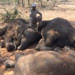 Poachers Leave Dozens of Dead Elephants to Rot in Botswana, Africa