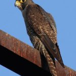 Boeing will Evict Peregrine Falcons from the MAX Hangar