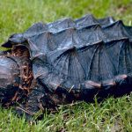 Rare Giant 65 pound Turtle stumbled into Fairfax County, VA