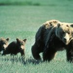 Judge Bans Hunting of Yellowstone Grizzly Bears
