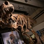 Scotty, the largest T-Rex Found, will be at display at the Royal Saskachewan Museum in Canada