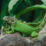 Florida Will See Iguanas Rain Upon It