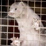 Denmark to Contain Mutated Coronavirus found in Minks