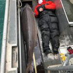 A 100 Year Old Fish from Detroit River Trolls the Globe